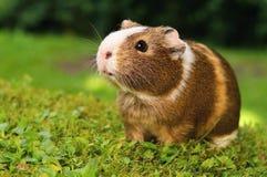 Meerschweinchen auf Rasen Lizenzfreie Stockbilder