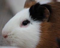 Meerschweinchen auf Schulter 6587 Stockfoto