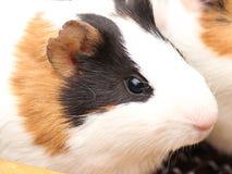 Meerschweinchen auf Schulter 6587 Lizenzfreie Stockfotos