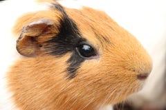 Meerschweinchen auf Schulter 6587 Lizenzfreie Stockfotografie