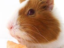 Meerschweinchen auf Schulter 6587 Lizenzfreies Stockbild