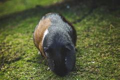 Meerschweinchen Cavia porcellus Lizenzfreies Stockbild