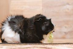 Meerschweinchen, das Kohlblatt isst Lizenzfreie Stockfotos