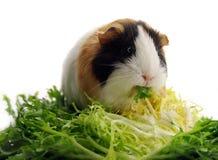 Meerschweinchen, das Kopfsalat isst lizenzfreie stockfotos