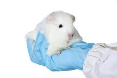 Meerschweinchen in der Hand der Forscher Lizenzfreie Stockfotos