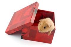 Meerschweinchen in einem Geschenkkasten Stockfotos