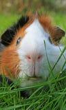Meerschweinchen-Gesicht Stockfotografie