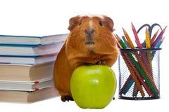 Meerschweinchen, grüner Apfel und Schulbedarf Lizenzfreie Stockbilder