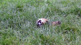 Meerschweinchen im Gras stock footage