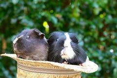 Meerschweinchen im Hut Lizenzfreies Stockbild