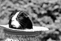 Meerschweinchen im Hut Lizenzfreie Stockfotografie