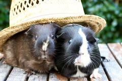 Meerschweinchen im Hut Lizenzfreie Stockbilder