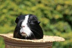 Meerschweinchen im Hut Stockfotografie
