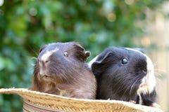 Meerschweinchen im Hut Lizenzfreies Stockfoto