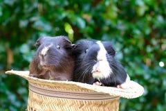 Meerschweinchen im Hut Lizenzfreie Stockfotos
