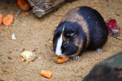 Meerschweinchen isst Karotte Stockfoto