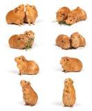 Meerschweinchen - Kompilation Stockfotografie