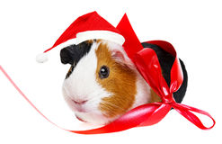 Meerschweinchen mit einer roten Sankt-Kappe Lizenzfreie Stockfotografie