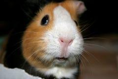 Meerschweinchen-Nahaufnahme Lizenzfreies Stockbild