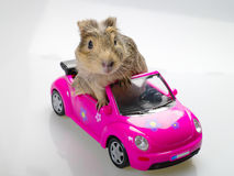 Meerschweinchen oder Cavia, die im rosafarbenen Auto sitzen Lizenzfreie Stockfotografie