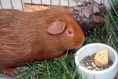 Meerschweinchen oder cobaye. Stockfoto