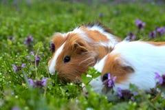 Meerschweinchen und Blumen Stockfoto