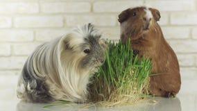Meerschweinchen züchten goldenes amerikanisches mit Haube und Krone Cavy essen gekeimtes Gesamtlängenvideo der Hafer auf Lager