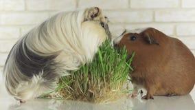 Meerschweinchen züchten goldenes amerikanisches mit Haube und Krone Cavy essen gekeimtes Gesamtlängenvideo der Hafer auf Lager stock footage