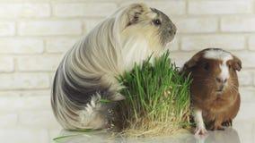 Meerschweinchen züchten goldenes amerikanisches mit Haube und Krone Cavy essen gekeimtes Gesamtlängenvideo der Hafer auf Lager stock video footage