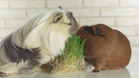 Meerschweinchen im Gras stock footage. Bild von wiese - 74258178