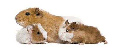 Meerschweinchenfamilie lizenzfreie stockfotos
