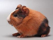 Meerschweinchenschätzchen auf Grau Lizenzfreie Stockfotos