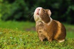 Meerschweinchenschnüffeln Lizenzfreie Stockbilder