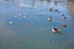 Meervogels het zwemmen Stock Foto's