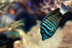 Meerwasserfische Lizenzfreies Stockbild