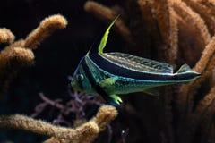 Meerwasserfische Stockfoto