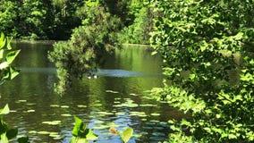 Meerwaterspiegel met groene installaties en eenden stock video