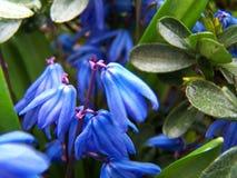 Meerzwiebelblumen Lizenzfreies Stockfoto