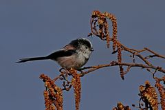 Meesvogel met lange staart op toppositie Stock Foto's