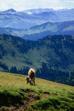 Meet a cow on a hiking trip on the Nagelfluhkette in the german alps Stock Photo