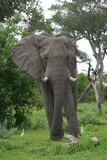 Meet the elephant. This one is standing maestic on a small hill Royalty Free Stock Photo