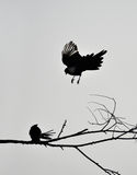 Meet. Two birds in the branches meet Stock Photography