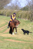 The meeting. A bay horse and rider meet a black labrador Royalty Free Stock Images