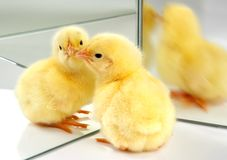 Meeting another chick. One little easter chick meeting himself in front of a mirror Stock Images