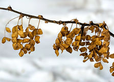Meeting of autumn to winter. The leaves of acacia do not have time to fly to the onset of winter. Caragána arboréscens stock photography
