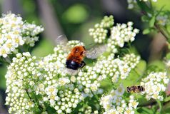 Meeting a bumblebee and a bee over a white flower Royalty Free Stock Photography