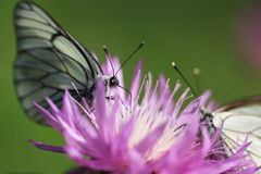 Meeting. Butterfly collecting nectar on a flower Royalty Free Stock Image