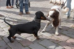 Meeting  dachshund  and spaniel Stock Image