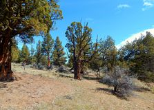 Meeting of Desert Buddies. Juniper tree scene in the high desert of Central Oregon by Dusty Loop Rocks - near Tumalo, OR royalty free stock photos