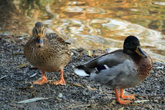 Meeting with ducks near my house. Prague in autumn Royalty Free Stock Photography